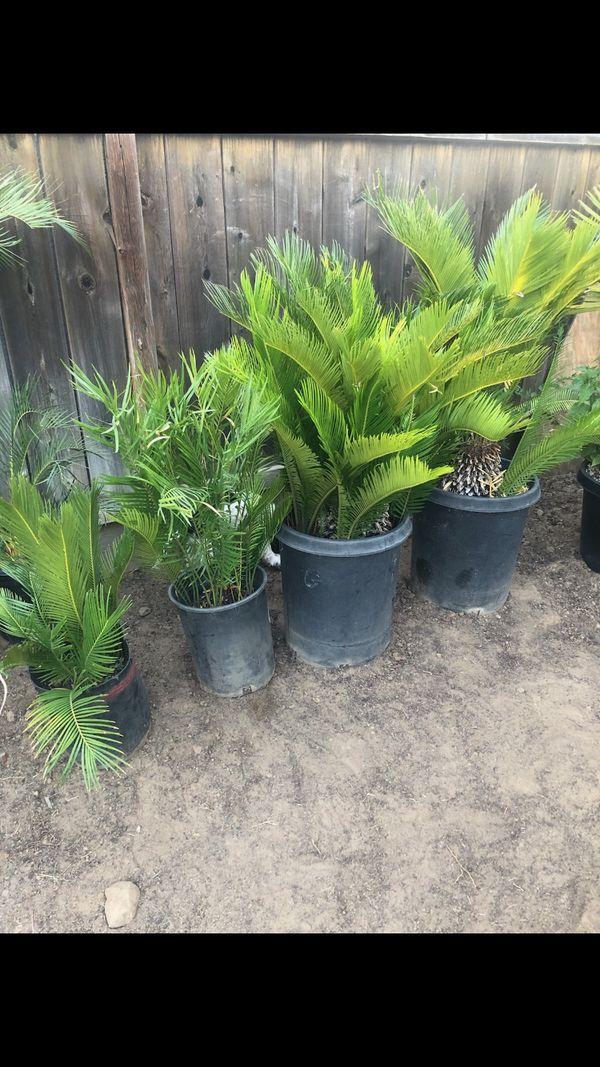 4 sago palm trees