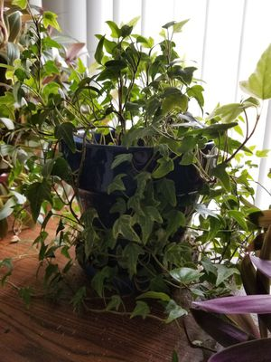 Long Ivy plant. for Sale in Colorado Springs, CO