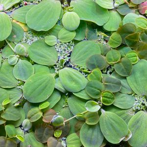 Dwarf Water Lettuce For Aquariums Aquascaping for Sale in Atherton, CA