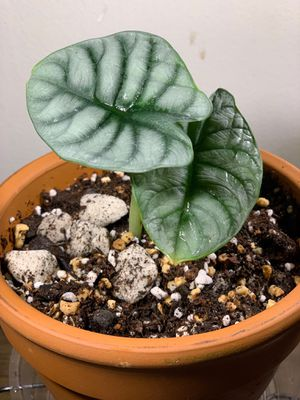 Alocasia Silver Dragon for Sale in Rialto, CA