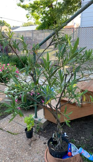 Oleander,, braided; Double White fragrant for Sale in St. Louis, MO
