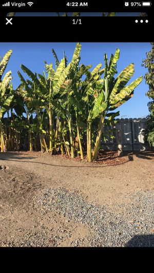 Banana plants how many you need for Sale in Spring Valley, CA