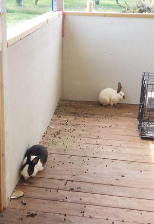 Conejos machos los dos de 2años for Sale in Austin, TX