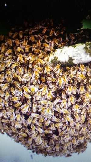 Free bee swarm removal for Sale in Staunton, VA