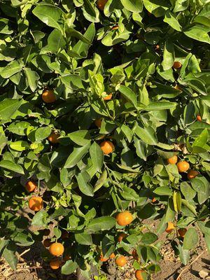 Kumquats ( organic ) for Sale in El Cajon, CA