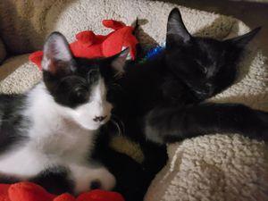 Kitten brothers for Sale in Phoenix, AZ