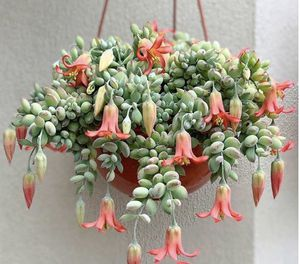 "Rare 6"" hanging basket Cotyledon Pendens succulent house plant for Sale in Los Angeles, CA"