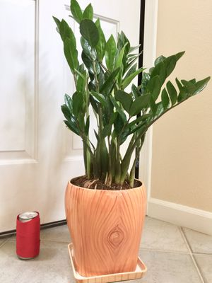 Real Indoor Houseplant - ZZ Plants in Wood Print Ceramic Planter Pot with Saucer for Sale in Auburn, WA