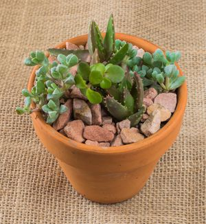 4-inch succulent plant for Sale in Las Vegas, NV