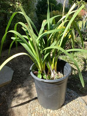 Orchid Plant (Simply Cymbidium) for Sale in Sierra Madre, CA