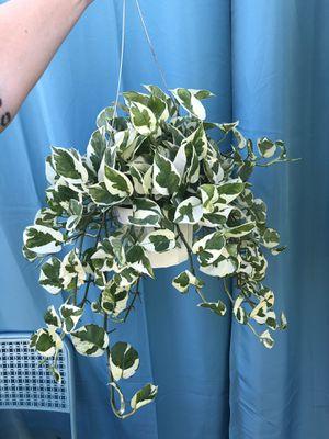 Hanging N' Joy Pothos for Sale in Covina, CA