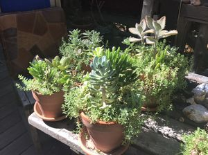 One pot of succulents in a 6 inch pot for Sale in CA, US