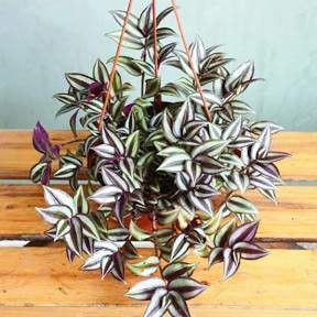 $9.99 Wandering Jew Plant in 6 inch Hanging pot for Sale in Zellwood, FL
