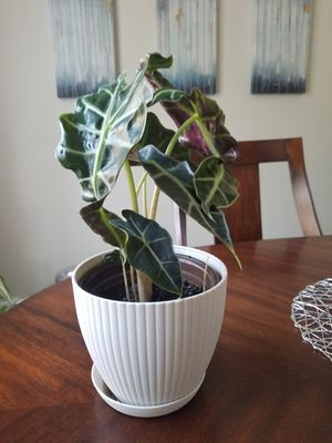 house plant for Sale in Alpharetta, GA