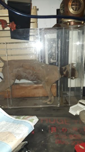 Real mummified cat for Sale in Fremont, CA