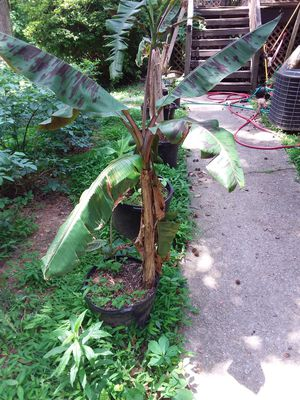 Banana plants potted - from Brazil for Sale in Lithia Springs, GA