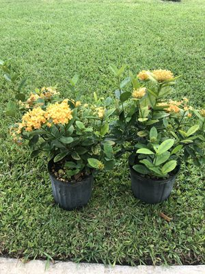 IXORA MAUI YELLOW ( All year round flowering in 3 gallon pot) for Sale in Hollywood, FL