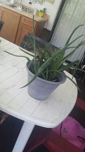 Aloe Vera Plant for Sale in Spring Hill, FL