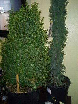 2 trees for Sale in Stockton, CA