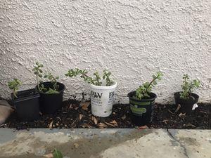 Elephant food plant babies 🌱 for Sale in Phoenix, AZ