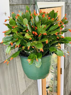 Live indoor ORANGE flowered Easter cactus house plant in a hanging plastic planter pot—firm price for Sale in Seattle, WA