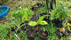 Various fruit producing plants for Sale in NW PRT RCHY, FL