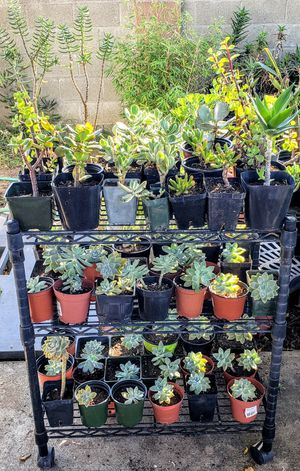 Succulents for Sale in San Diego, CA