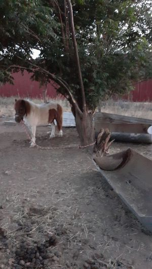 Pony for Sale in Odessa, TX