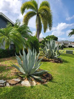 agave plants for Sale in Wellington, FL