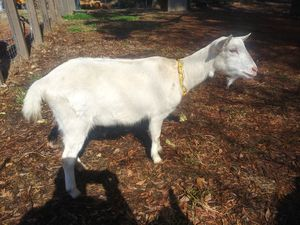Dairy Goats for Sale in Hapeville, GA