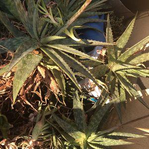 Aloe Vera Plants/ Savila for Sale in Bakersfield, CA