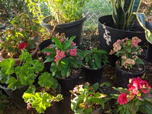 Variedad de plantas/plant variety for Sale in Colton, CA