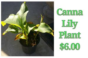 Canna lily plant for Sale in Hacienda Heights, CA
