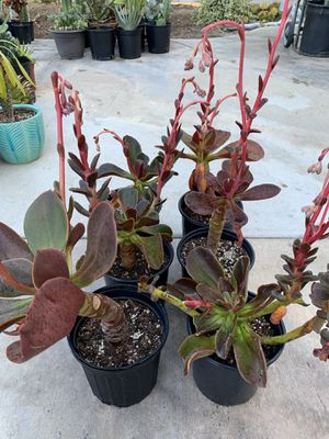 Beautiful rare succulent plants for Sale in Spring Valley, CA