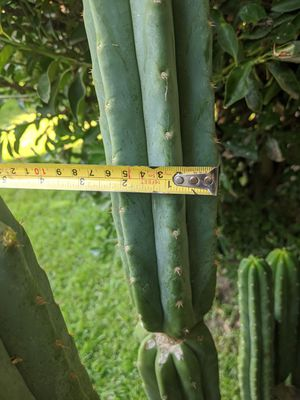 San pedro cactus a mics of tops and bottoms . for Sale in Montclair, CA
