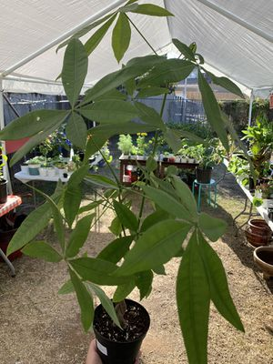 MONEY tree 💸🌿 bring the good fortune home 💸 for Sale in National City, CA