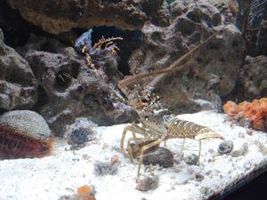 Mini Lobster for Sale for Sale in Miami, FL