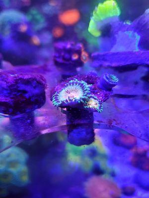 Zoa frag buttmuncher zoanthid 5 polyps for Sale in Hialeah, FL
