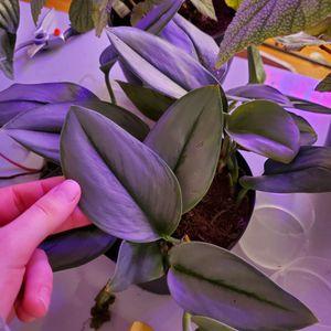 Scindapsis Trebuii Moonlight In 4inch Pots for Sale in Binghamton, NY