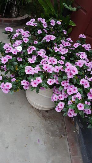 2 feet pot with plants for Sale in La Mirada, CA