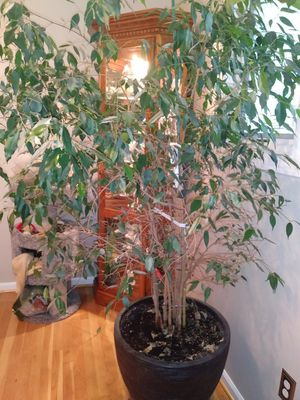 Live Ficus Plant for Sale in Sterling Heights, MI