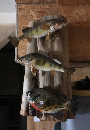Yellow perch and bluegill skin mounts for Sale in Martinsburg, WV