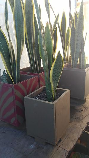 Snake plants for Sale in Los Angeles, CA