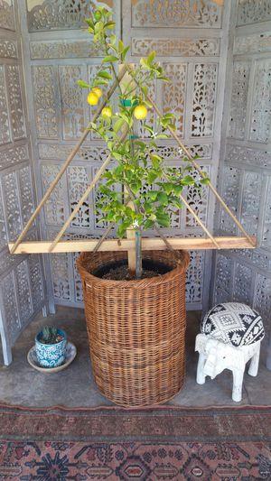 Organic lemon tree for Sale in South Pasadena, CA