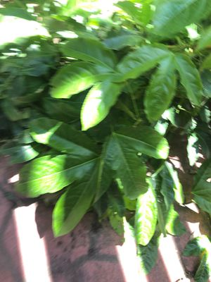 Passion flower plant in 4 in pot .1 foot tall for Sale in Modesto, CA