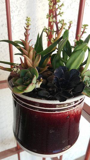 SUCCULENTS IN WINE COLORED CERAMIC POT..PEBBLES for Sale in Bonita, CA