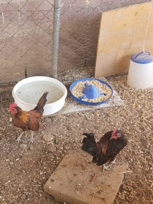 Small rooster for Sale in Los Angeles, CA