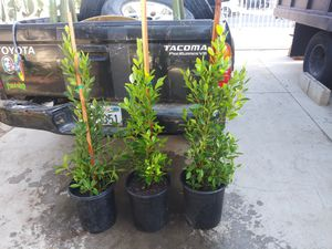 Ficus for Sale in Sylmar, CA