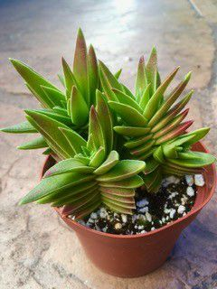 Succulent Plant for Sale in San Marcos, CA