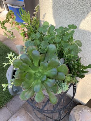 Assorted succulent plants for Sale in Los Alamitos, CA